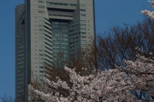 The Landmark Tower and other tall buildings in the Sakuragi-cho and Minato-mirai districts rise high over the cherry trees.