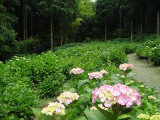 寺の奥の敷地はアジサイの茂みで覆われていて、歩道で行き来できる