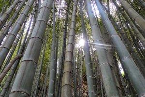 ป่าไผ่บนเส้นทางพระพุทธรูปไดบุทสึ (Daibutsu Hiking Course)