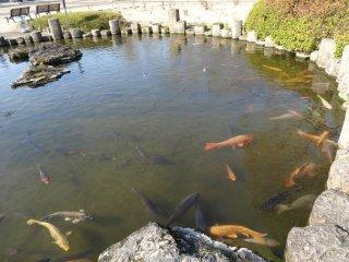 春の池では時おり鯉達が池から飛び跳ねる