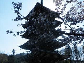 早春、桜の花越しに見る五重塔