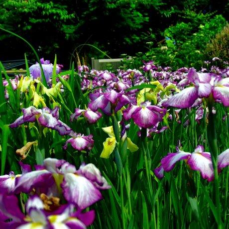 Iris Festival at Daian-zenji Temple