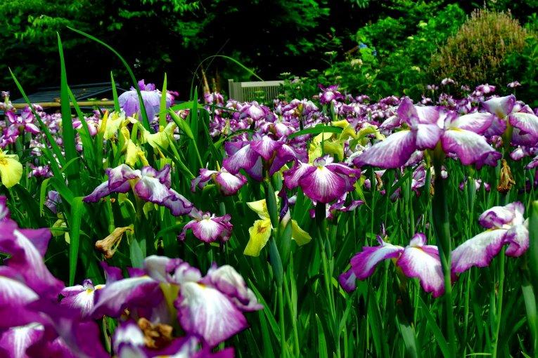 Festival Iris di Kuil Daian-Zenji