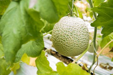<p>Melons ripe for picking</p>