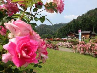 Hoa hồng là loài hoa đẹp không góc chết!