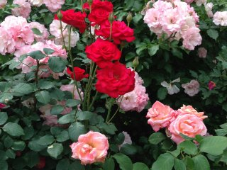 Hoa hồng đỏ mang nét đẹp quyến rũ, nó thu hút nhiều người đến nhìn ngắm và đo kích thước bàn tay mình với những bông hoa.