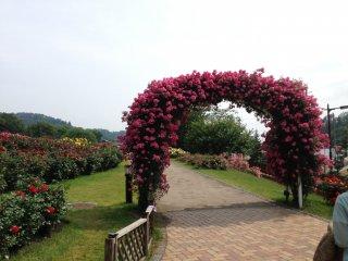 Một chiếc cổng đầy hoa hồng rực rỡ sẽ chào đón bạn tại Lễ hội hoa hồng!