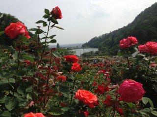 Những đóa hồng rực rỡ, xa xa là hồ nước, núi non. Khung cảnh đẹp như thiên đường.