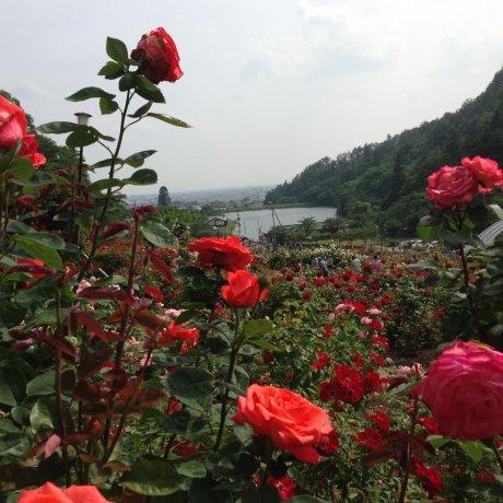 Yamagata's Rose Haven