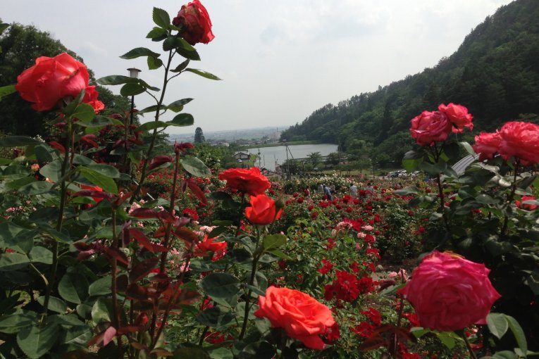 Thiên đường hoa hồng Yamagata