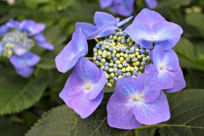 <p>This delicate,&nbsp;lilac&nbsp;hydrangea is also known as&nbsp;Seiyo Ajisai (Western type of hydrangea).</p>