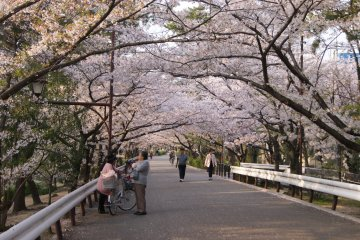 Blossoms galore along Shukugawa