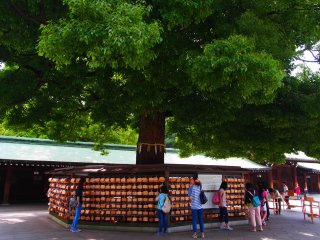 On the trees are hanging 'ema', votive tablets for special personal prayers and gratitude toward the deities enshrined in Meiji-Jingū. You can write your wishes on the tablets and have them hung on the divine tree, to be offered to the deities by priests at mikesai, the daily morning ceremony.