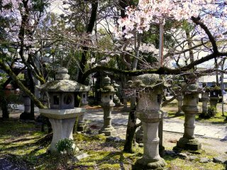 Stone lanterns under the cherry blossoms
