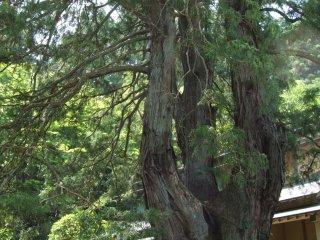 Một cây bách Nhật Bản khoảng 320 năm tuổi vẫn nằm trong khu vườn của ngôi đền