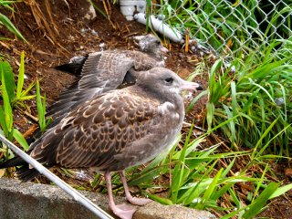 Gull chicks are brown, and smaller than the adults