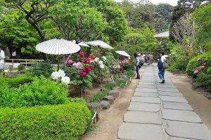 ชมดอกโบตั๋นพร้อมบทกวีไฮกุ ในเดือนเมษายน วัดฮะเซะ-เดะระ คามาคุระ