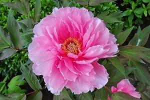 ยามเมื่อโบตั๋นบาน ดูราวกับว่า ไม่มีดอกไม้อื่นใด..หาญกล้าเทียบเคียง