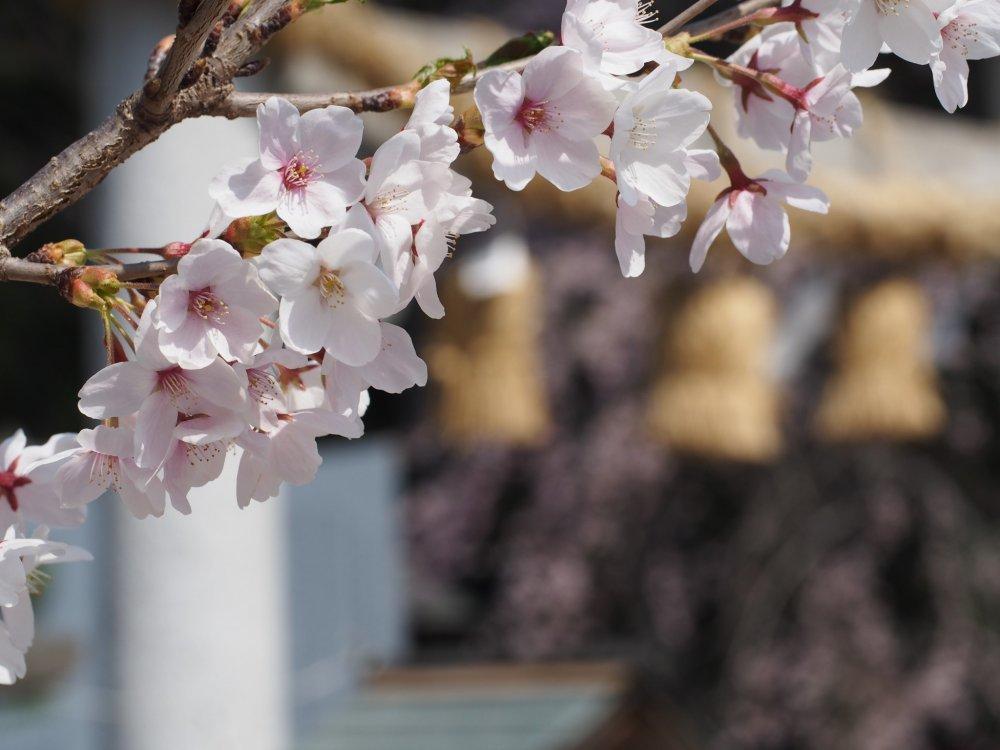 Cherry Blossom at Nogi Shrine. Nasushiobara