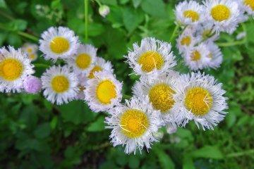 <p>ดอกไม้ริมทางกอใหญ่ ชูดอกใบทักทายผู้มาเยือน</p>