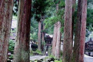 Looking at 'Karamon (Chinese Gate)' through tall, giant cedar trees