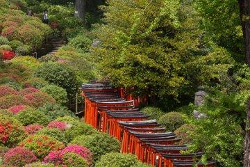 <p>Torii path alongside the azalea garden</p>