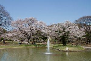 Fountain area during Cherry Blossom Season