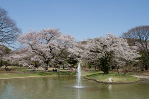 Fountain area during Cherry Blossom Season