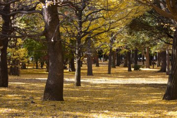Ginkgo forest showing off in autumn