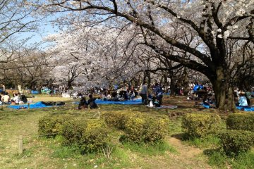 Hanami (Cherry Blossom Viewing) Party