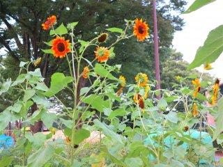 公园内的向日葵