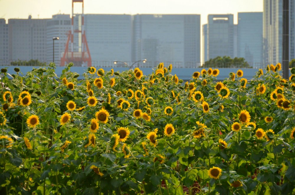 Blossoming sunflowers during a summer festival held at Odaiba!