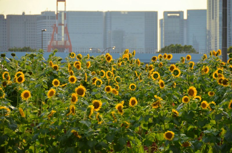<p>Blossoming sunflowers during a summer festival held at Odaiba!</p>