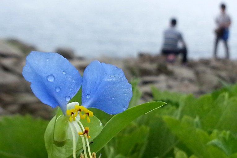 Hoa mọc trên vách đá lởm chởm Tojinbo