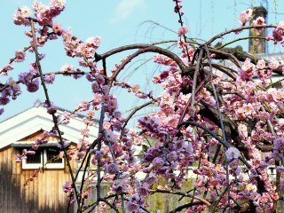 Pink plum blossom growing on the bank