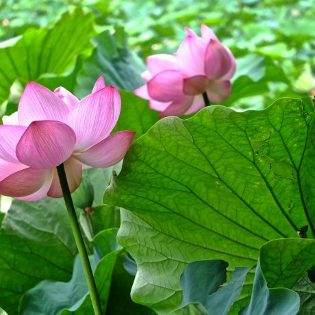 横浜に蓮の花を観に行こう!