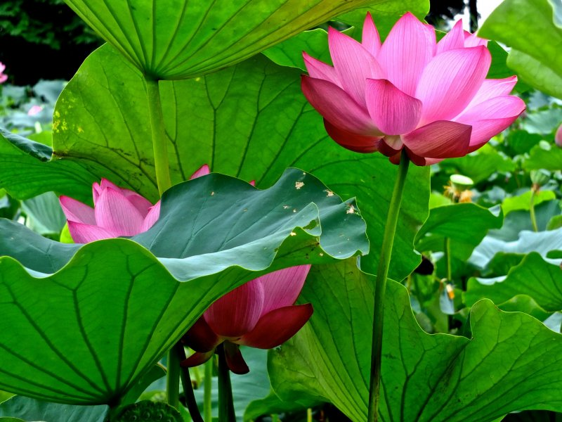 <p>Ancient Lotus Pond in Gyoda City, Saitama</p>
