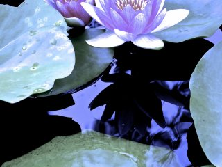 Soft violet Water Lilies at Ashikaga Flower Park