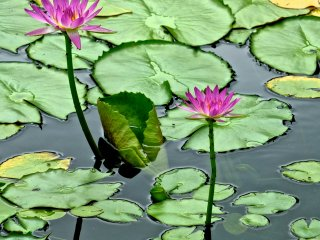 Two pink Water Lilies and beautiful green leaves covering the pond at Ashikaga Flower Park