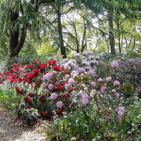 ดอกกุหลาบพันปีมีกี่สีกันนะ?