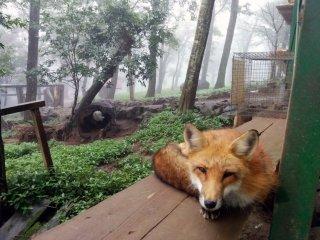 Les renards sont apprivoisés mais encore semi sauvages tout de même. Vous n'êtes pas autorisés à les caresser