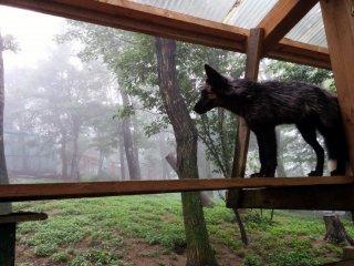 A black fox gazes into the distance