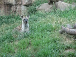 Another hyena enjoys time in the grass