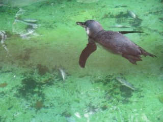 A penguin dives for its meal