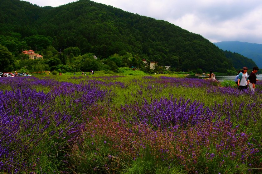 Lautan lavender di Festival Herbal Fujikawaguchiko.