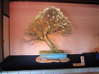 작은 나무지만 수령은 100년이 넘는다