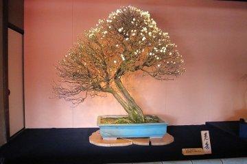 滋賀・長浜「盆梅展」