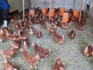 イサブラウン種の鶏は平飼い