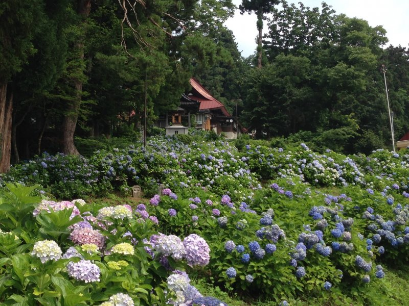 <p>Hydrangeas cover the slope leading up to the temple.</p>