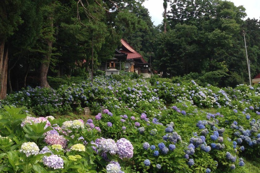Hydrangeas cover the slope leading up to the temple.